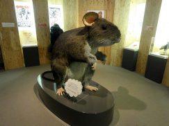 ハツカネズミの拡大展示模型2