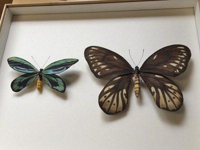 ornithoptera-alexandrae_model1