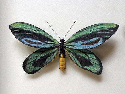 ornithoptera-alexandrae_model2