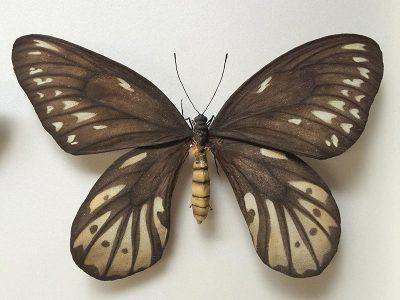 ornithoptera-alexandrae_model3