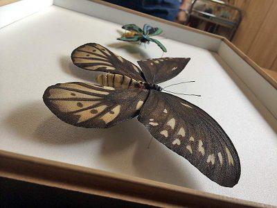 ornithoptera-alexandrae_model4