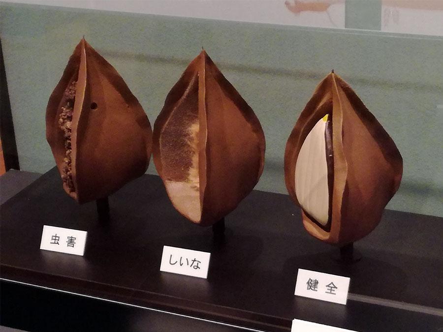 ブナの実の模型